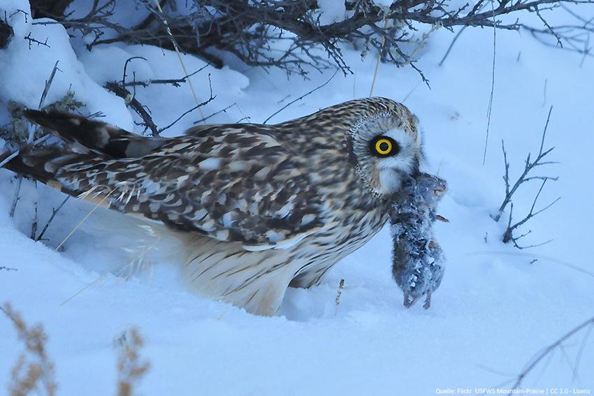 wie erbeuten eulen mäuse im schnee  liga vogelschutz