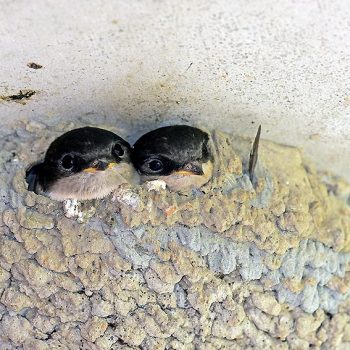 Mehlschwalben im Nest